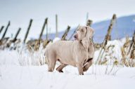 Weimaraner Bramley on Ben Lawers
