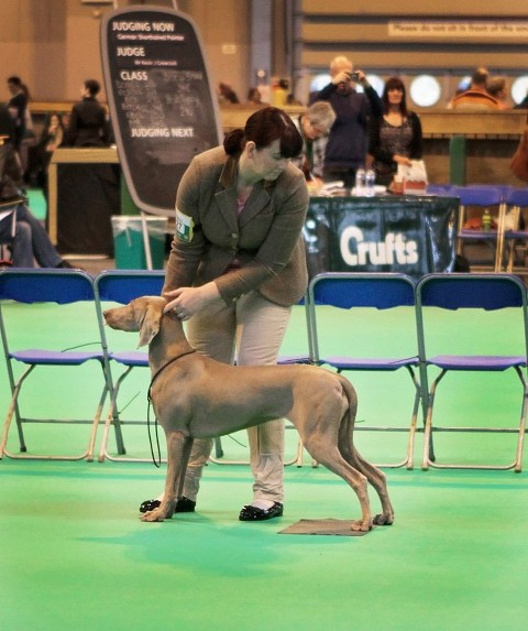 Bracken Crufts 2015-1st Junior Bitch