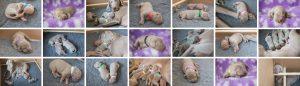 Braefell Weimaraner Puppies