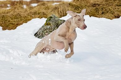 Weimaraner in the snow
