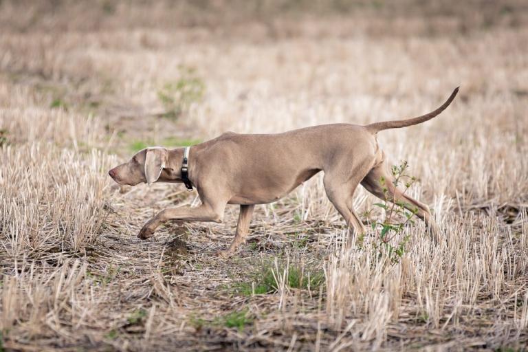 A Weimaraner stalking in a field